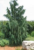 Кипарисовик нутканский/ Chamaecyparis nootkanensis Pendula
